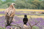 Discussion entre grand corbeau et vautour fauve
