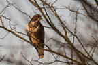 Buse variable sur son perchoir